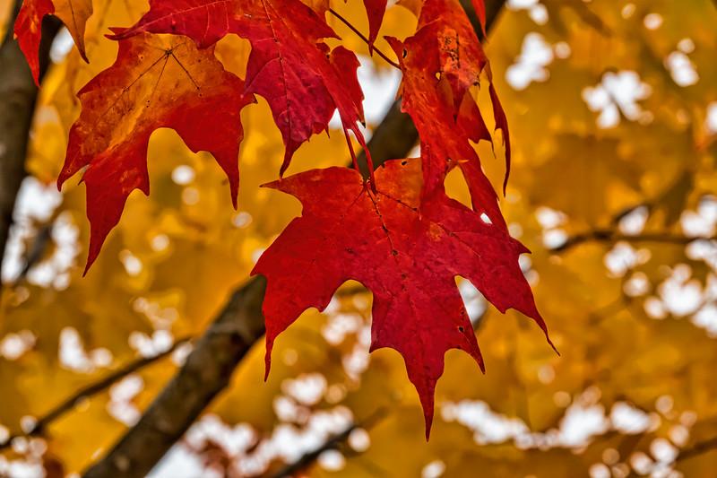 Sugar maple leaf detail