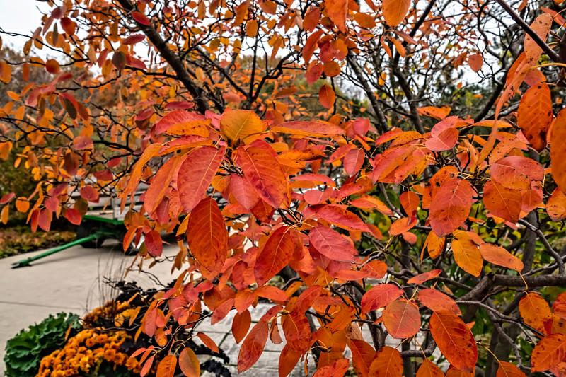 Leaf detail, Allegheny serviceberry