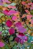 Bridalwreath, spirea, Spiraea prunifolia