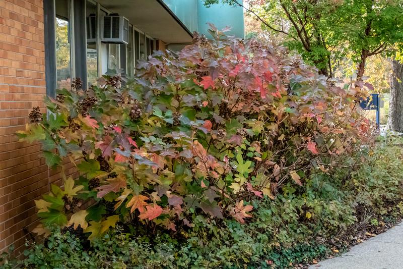 D297-2019<br /> Oak leaf hydrangea, Hydrangea quercifolia<br /> <br /> Picnic grove and Willow Pond area<br /> Matthaei Botanical Gardens, Ann Arbor<br /> Taken October 24, 2019