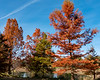 Bald Cypress in fall