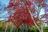 Red maple, acer rubrum