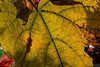 Backlit grape leaf