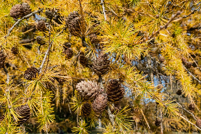 Eastern larch, larix laricina, needle and cone detail
