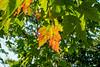 Marmo hybrid maple
