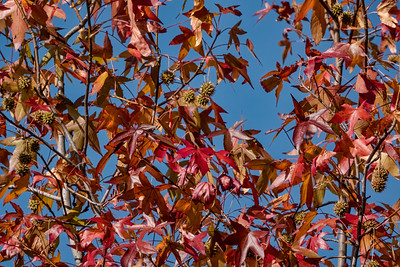 Fruit and foliage of a sweetgum