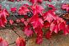 Boston Ivy, Parthenocissus tricuspidata