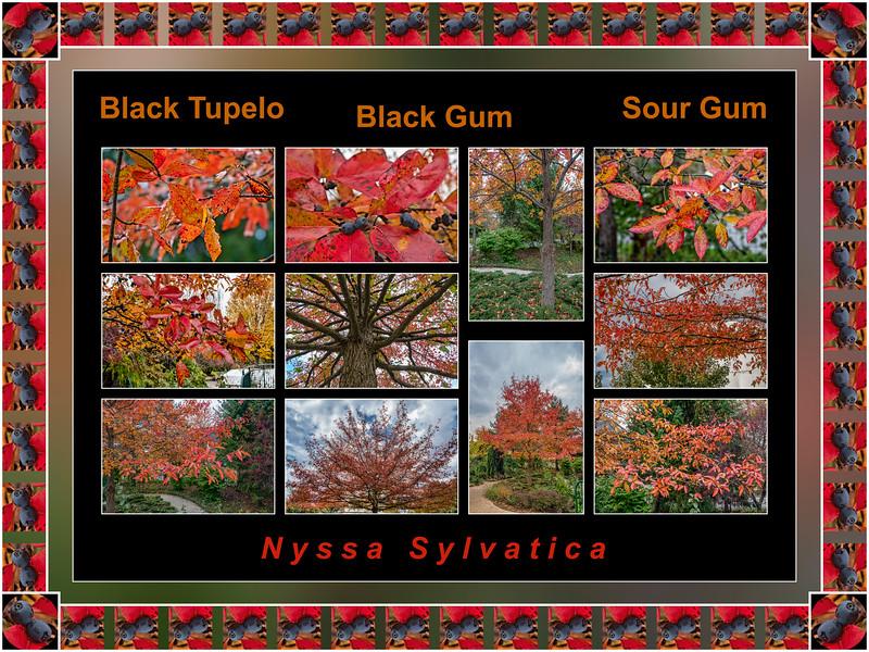 Fall color primer 16:  Nyssa sylvatica, black gum