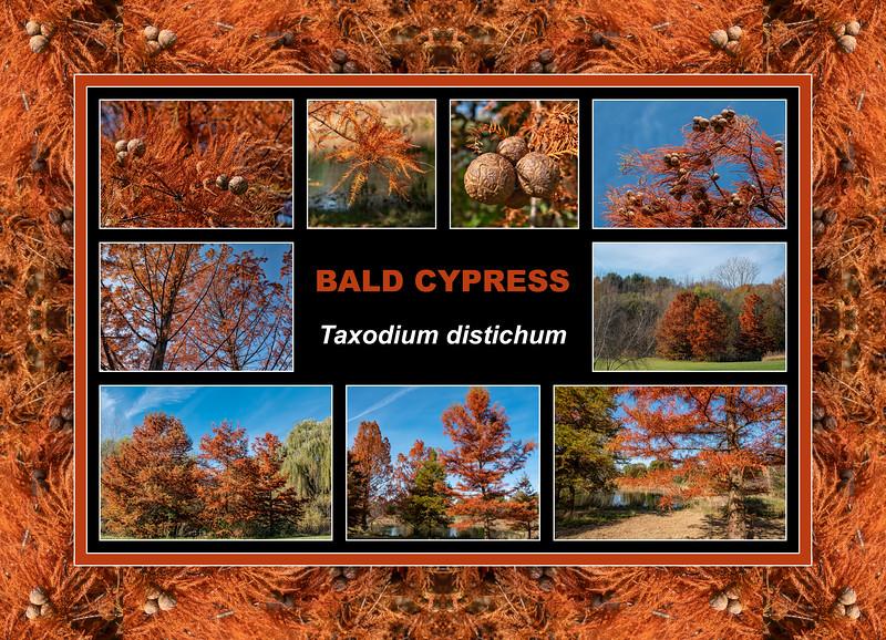 Fall primer:  Taxodium distichum, Bald Cypress