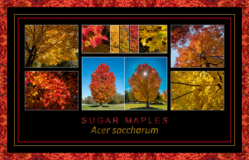 Fall primer:  Acer saccharum, Sugar Maple