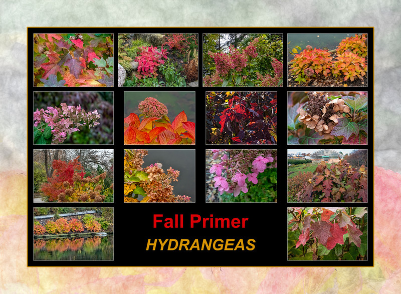 Fall primer:  Hydrangeas in the fall
