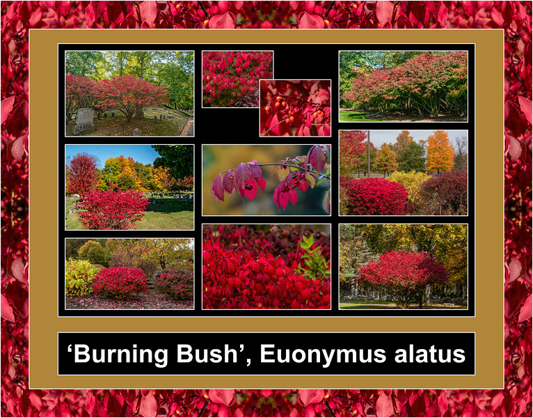 Fall Color Primer 8:  Burning Bush, Euonymus alatus