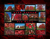 Fall color primer 15:  Acer rubrum, red maple
