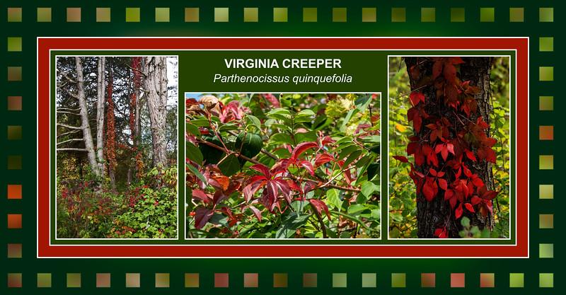 The Reds of Parthenocissus quinquefolia, Virginia Creeper