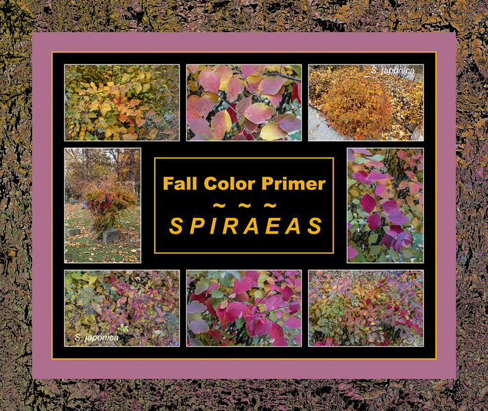 Fall color primer 17:  Spiraeas