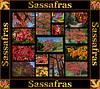 Fall primer:  Sassafras albidum