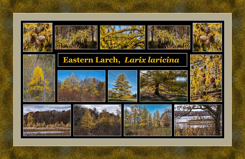 Fall color primer 19:  Eastern larch, Larix laricina