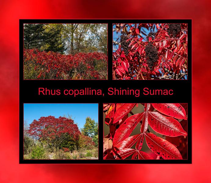 Fall primer:  Rhus copallina, Shining sumac