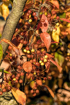 Fall fruit - trees - apples and pears