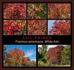 Fall primer:  Fraxinus Americana, White ash