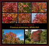 Fall color primer 5:  White ash, Fraxinus Americana