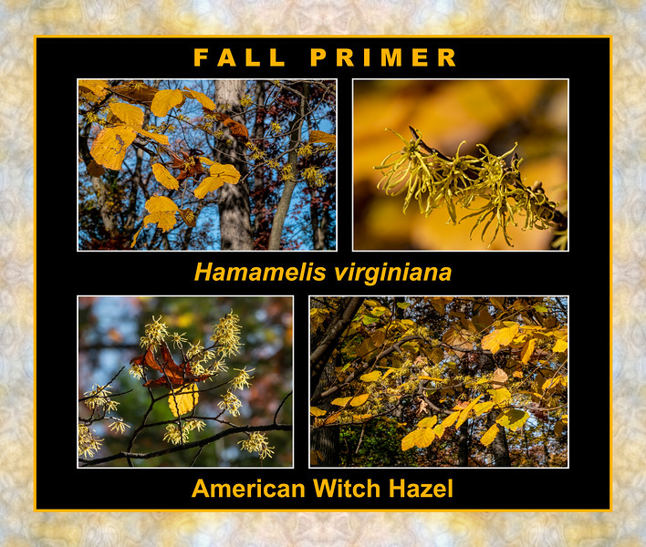 Fall color primer 13a:  American witch hazel,