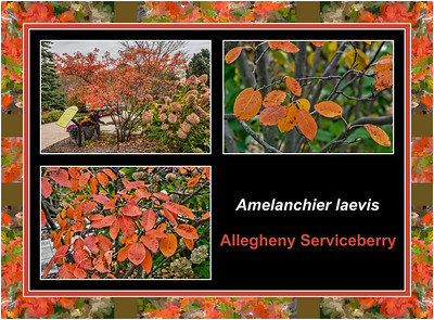 Fall primer:  Amelanchier laevis, Allegheny serviceberry