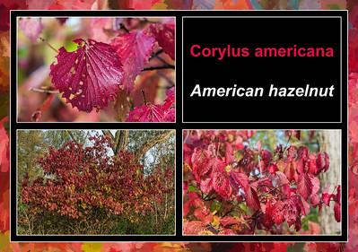 Fall primer:  Corylus americana, American hazelnut