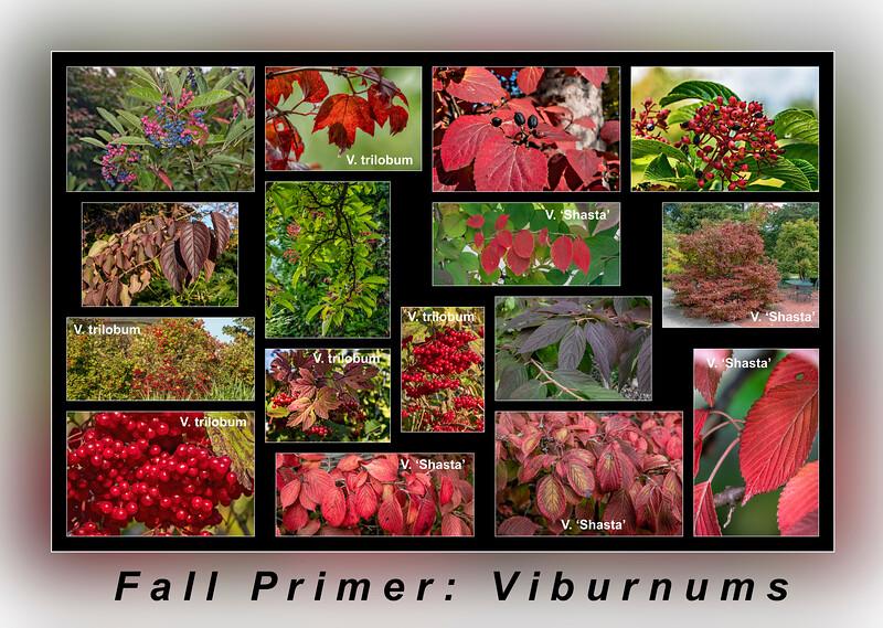 Fall Color Primer 10:  Viburnums