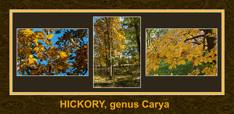 The yellow of hickory foliage