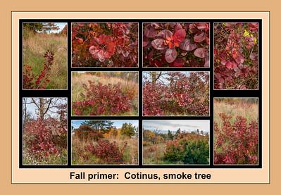 Fall color primer 12:  Cotinus, smoke tree or smoketree
