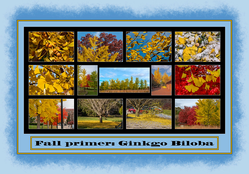 Fall Color Primer 9:  Ginkgo biloba trees