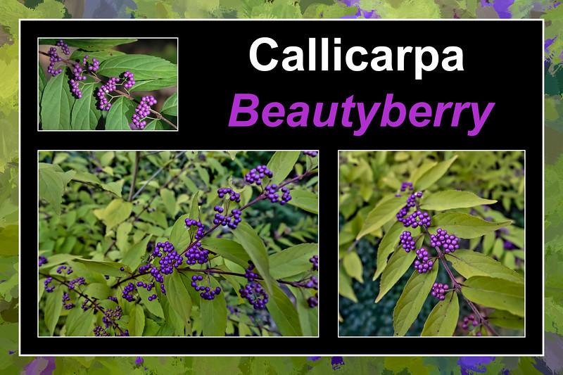 Fall primer:  Callicarpa, beautyberry