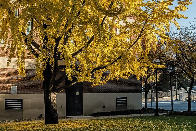 Ginkgo tree, morning light
