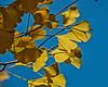 Ginkgo leaf detail