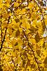 Leaves in the light - ginkgo biloba