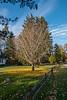 D313-2019<br /> Ginkgo with sudden leaf loss<br /> <br /> Huntington Drive<br /> Ann Arbor, Michigan<br /> Taken November 9, 2019