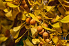 Fall foliage and ripe fruit on a ginkgo