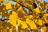 Pure gold - ginkgo foliage