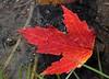Floating maple leaf.