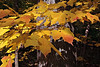 Wildwood.  Boardwalk #9.  Maple leaves