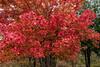 Maple tree in autumn raiment