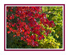Acer rubrum 'Red Flame'