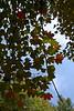 Seeing Red - sugar maples beginning to turn