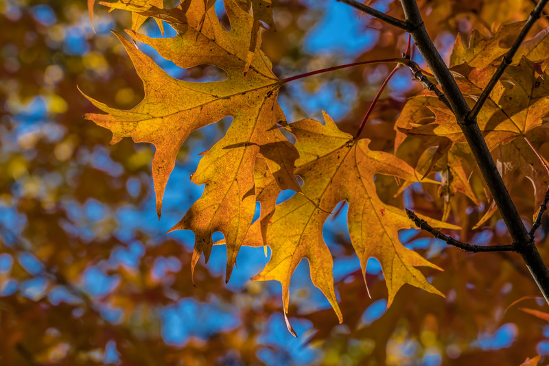 Fall foliage on an unidentified maple