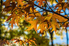 Unidentified maple tree in fall colors (sc 2017-11-15)