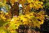 Columnar sugar maple, Temple's Upright