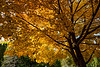 Sugar maple, acer saccharum