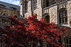 D305-2014<br /> Japanese maple in the Law Quad<br /> <br /> University of Michigan, Ann Arbor<br /> Taken November 1, 2014