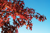 Sweetgum tree in autumn